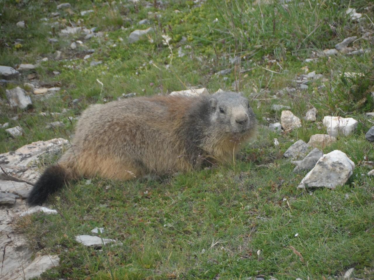 Sans nom 30/08/19 - Marmotte lors de la montée au col et tête de Critillan puis tête de la Cula QUEYRAS